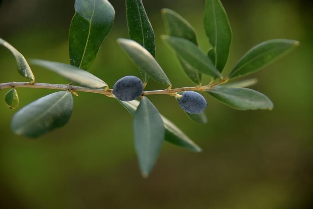 Antonio Leo - Azienda Agricola Bioleo - Olio extra vergine di oliva biologico